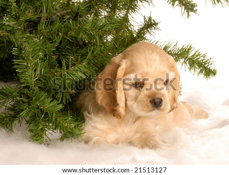 american cocker spaniel puppy laying down under pine tree in the snow - stock photo