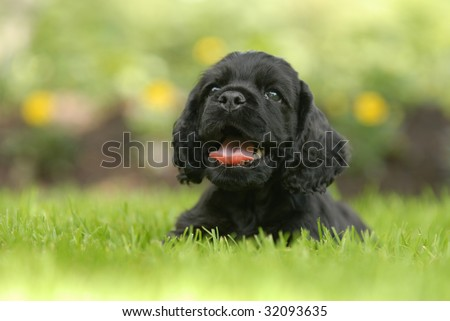 american cocker spaniel puppy laying in the grass with his tongue out panting - six weeks old - stock photo