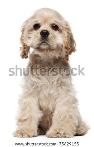 American Cocker Spaniel puppy, 4 months old, sitting in front of white background - stock photo