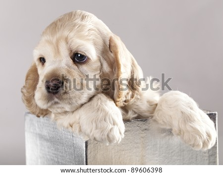 American Cocker Spaniel puppy packaged in a box - stock photo