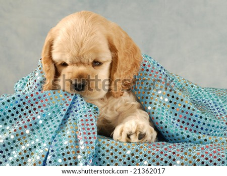 american cocker spaniel puppy playing under blue blanket - stock photo