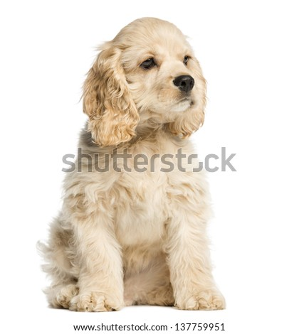 American cocker spaniel puppy sitting and staring, 4 months old, isolated on white - stock photo