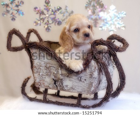 American cocker spaniel puppy sitting in winter sleigh - champion bloodlines