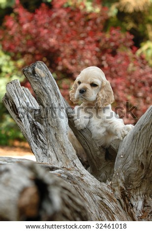 american cocker spaniel puppy standing an a piece of wood - stock photo