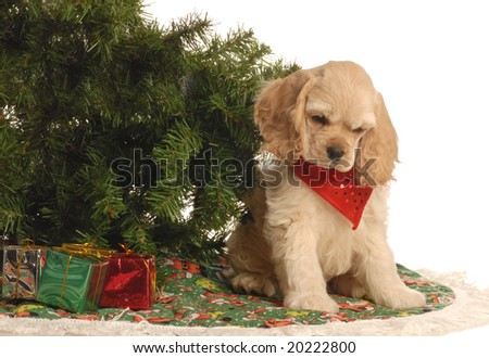 american cocker spaniel puppy under christmas tree
