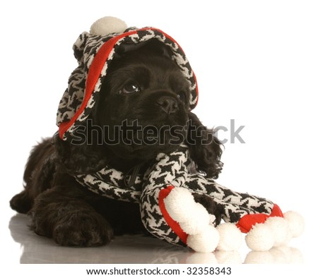american cocker spaniel puppy wearing winter hat and scarf - stock photo