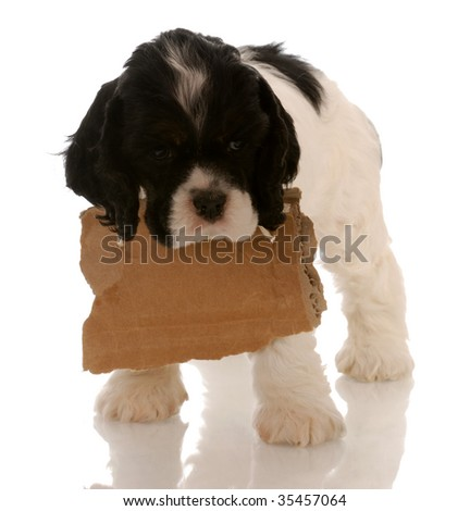 american cocker spaniel puppy with a blank cardboard sign around neck - stock photo