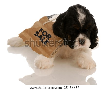 american cocker spaniel puppy with for sale sign around neck - stock photo