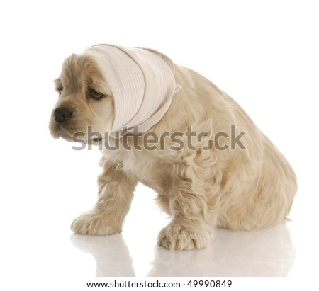 american cocker spaniel puppy with head in bandage with reflection on white background - stock photo