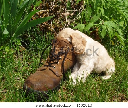 American Cocker Spaniel puppy with head in old workboot - stock photo