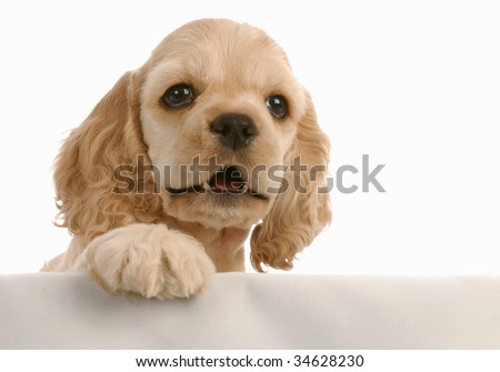 american cocker spaniel puppy with paw up on white background