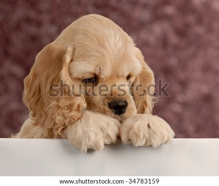 american cocker spaniel puppy with paws over white foreground - stock photo