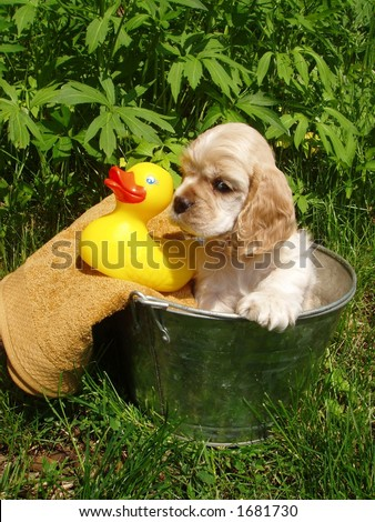 American Cocker Spaniel ready for a bath (6 week old puppy, champion stock) - stock photo