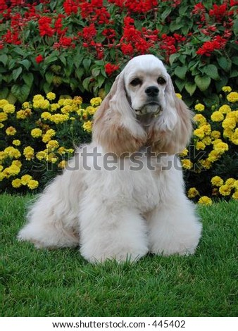 American Cocker Spaniel sitting - stock photo