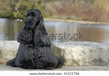 american cocker spaniel sitting by river - champion bloodlines - stock photo