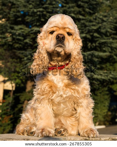 American Cocker Spaniel sitting on a pavement - stock photo