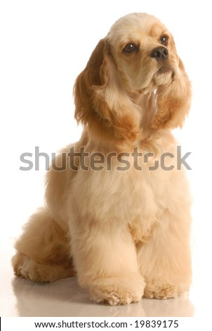 american cocker spaniel sitting- six months old - isolated on white background - stock photo