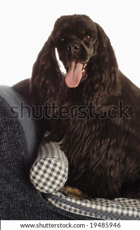 american cocker spaniel sitting up on dog bed - stock photo