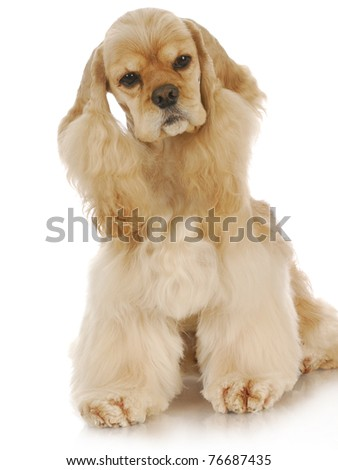 american cocker spaniel sitting with reflection on white background - 3 years old - stock photo