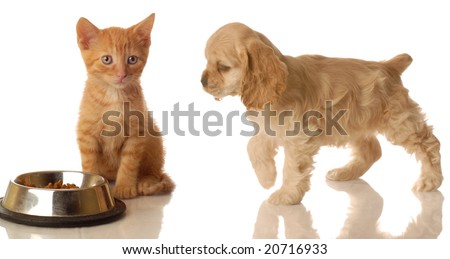 american cocker spaniel walking towards orange tabby kitten that is sitting in front of food dish - stock photo