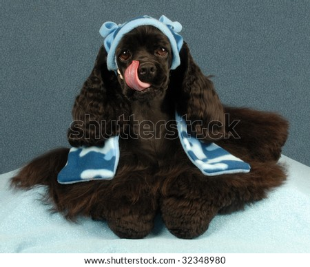 american cocker spaniel with adorable expression wearing winter hat and scarf - stock photo