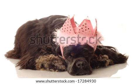 American cocker spaniel with pink feathered tiara - stock photo