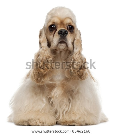 American Cocker Spaniel, 1 year old, sitting in front of white background - stock photo