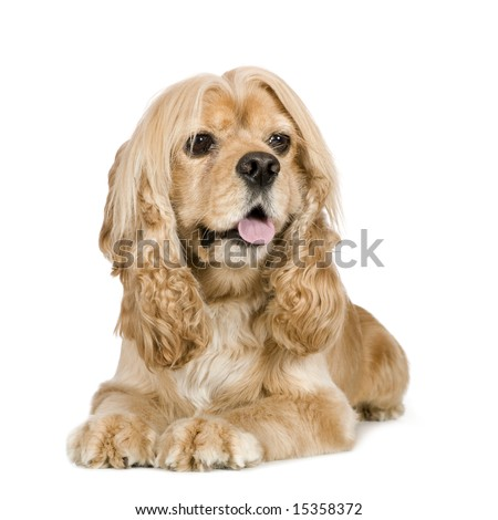 american Cocker Spaniel (3 years) in front of a white background - stock photo