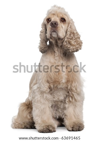 American Cocker Spaniel, 6 years old, sitting in front of white background - stock photo