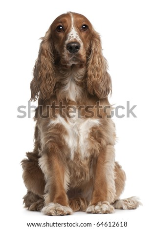 American cocker spaniel, 3 years old, sitting in front of white background - stock photo