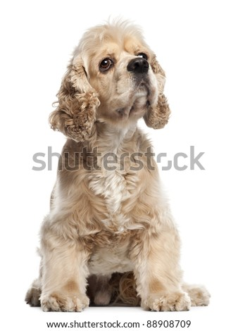American Cocker Spaniel, 4 years old, sitting in front of white background - stock photo