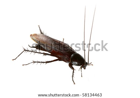 American Cockroach Isolated on White - stock photo