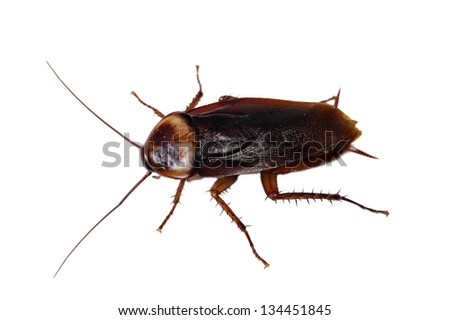 American cockroach Periplaneta americana isolated on white - stock photo