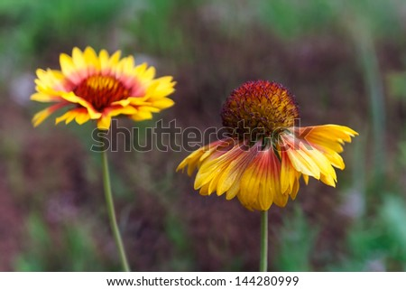 american cone-flower close up. - stock photo