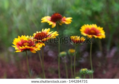 american cone flower close up - stock photo