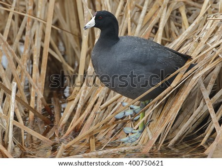 American Coot (Fulica americana) Standing on Dead Cattails in a Florida Wetland - stock photo