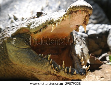 american crocodile basking with mouth open showing teeth. prehistoric reptile dinosaur predator , san jose, costa rica - stock photo