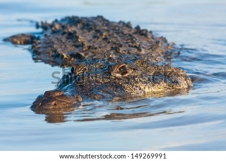 American Crocodile (Crocodylus acutus) - stock photo