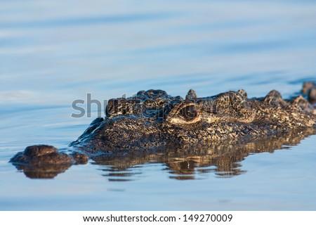 American Crocodile (Crocodylus acutus) - stock photo