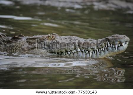 American crocodile swimming - stock photo