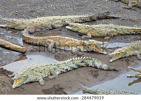 American Crocodiles bask along a river in Costa Rica. - stock photo