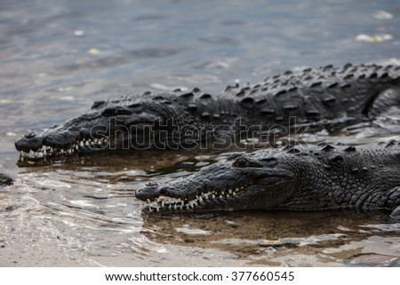 American crocodiles (Crocodylus acutus) lay at the edge of a lagoon off the coast of Belize. This large and potentially dangerous species of reptile is found throughout Central America. - stock photo