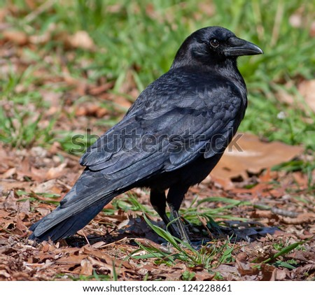 American Crow (Corvus brachyrhynchos) - stock photo