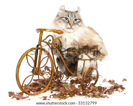 American Curl cat sitting on mini brown bike, on white background - stock photo