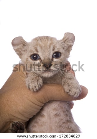 American curl kitten held in hand isolated on white - stock photo