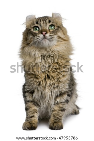American Curl (8 months old) in front of a white background