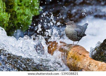 American Dipper (Cinclus mexicanus).  The American Dipper is North America's only truly aquatic songbird.