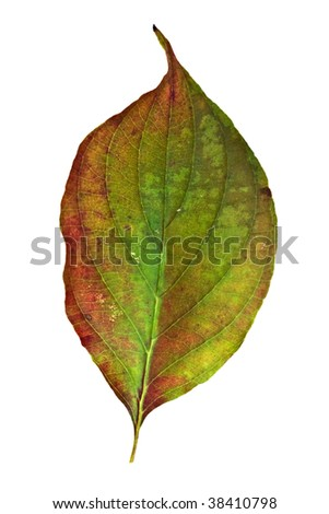 American Dogwood leaf isolated on a white background