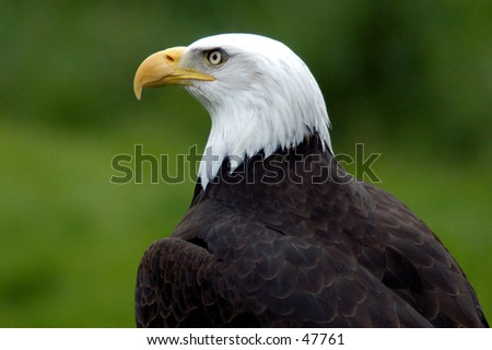 American eagle - stock photo