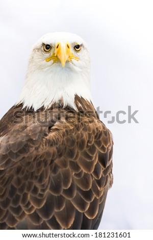 American Eagle / Bald Eagle  - stock photo